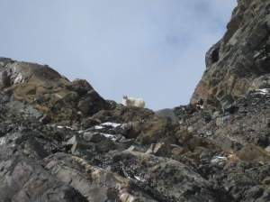 Close-up of a mountain goat before disappearing behind the mountain